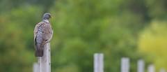 common wood pigeon [Columba palumbus] (hardy-gjK) Tags: world nature birds fauna nikon gallery dof shot superb bokeh pigeon dove wildlife vineyards deaf taube pidgeon natures weinberge bokey symply nikonflickraward