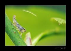 Cigarrinha (Marcos Teixeira de Freitas) Tags: brazil macro closeup brasil canon bug insect 100mm inseto 50d marcosteixeiradefreitas