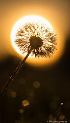 Un soleil dans un autre soleil! (pascaleforest) Tags: sunset macro nikon passion contrejour ombrechinoise pissenlit leverdusoleil