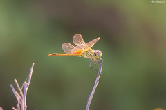 Dragonfly (Bill-Metallinos) Tags: travel light color macro animal insect fly natural dragonfly greece corfu kerkira metallinos