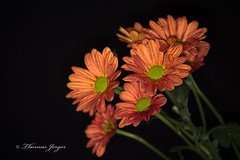 Emerging 1125 Copyrighted (Tjerger) Tags: portrait orange brown plant black flower macro green fall nature leaves closeup blackbackground wisconsin petals flora group stems bunch bloom emerging