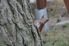 Wiewirka (_marzenka_) Tags: squirel wiewirka