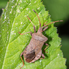 Armour-plated (DavidHowarthUK) Tags: woodland colchester essex june 2016 dockbug coreusmarginatus