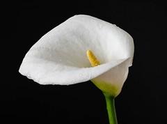Calla Lily (kiwibloke888) Tags: lily callalily xf35mm fujixt1