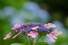 () /Hydrangea macrophylla (nobuflickr) Tags: nature japan kyoto hydrangea frower   hydrangeamacrophylla   blossoms awesomeblossoms awesome   kyotoprefmimurotojitemple 20160612dsc02910
