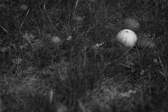 fallen apples, red, one green, clover, grasses, Asheville, NC, Nikon D40, nikon nikkor 105mm f-4, 6.16.16 (steve aimone) Tags: apples red green clover grass asheville nc nikond40 nikonprime nikonnikkor105mmf4 maccro primelens blackandwhite monochrome