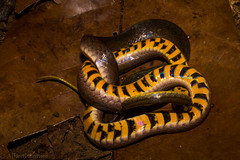 jabutibia (Liophis reginae) - S observo!!! (Albedi Junior) Tags: brazil nature forest canon reptile snake natureza ngc cerrado matogrosso t3i natgeo savana serpentes repteis