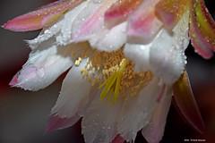 Cereus Peruvianus (Paolo Bonassin) Tags: flowers cactus flower cactaceae cereus succulente cereusperuvianus cactacee