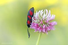 Zygaena filipendulae - Linnaeus 1758 (fabrizio daminelli ) Tags: wild macro nature canon butterfly insect wildlife moth natura lepidoptera tamron farfalla insetto falena zygaena zygaenidae filipendulae linnaeus1758 diurna lepidottero fabriziodaminelli
