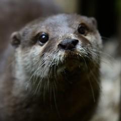 Otter-20160623-38s (Fatcat Al) Tags: en alan district derbyshire centre peak chapel le short frith otter chestnut castleton clawed minnis