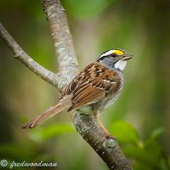 White Throated Sparrow 14.6.16.1.Edit (big37dog) Tags: 2016 sparrow variousbirds whitethroatedsparrow
