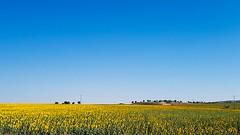 Sunflower fields (Quique CV) Tags: sunflowers fields yellow girasol campos spain sky cielo summer morning verano maana 2016 espaa saelices