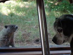 a new friend for Oliver (vivienne_strauss) Tags: oliver woodchuck