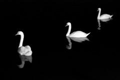Three swans (Yuta Ohashi LTX) Tags: bw white black reflection monochrome night swan pond nikon f14 voigtlander fixed 58mm nokton  focal   d90    primelens