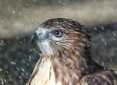 Hawk taking a shower (Goggla) Tags: nyc new york manhattan east village tompkins square park urban wildlife bird raptor red tail hawk fledgling juvenile bath bathing shower sprinkler goglog