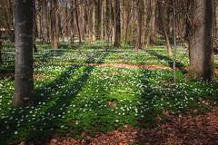 Hvitveis (Lisbeth Pettersen) Tags: trees light sun green sol forest shadows skog anemones vr trr hvitveis grnt skogbunn skygger