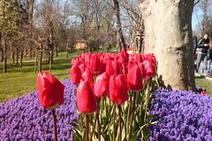 IMG_3888 (gkimirti) Tags: flower tulip 2015 emirgan laleler
