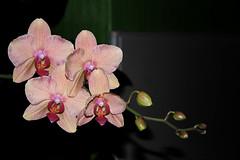 Phlaenopsis-Hybride (Orchid) (betadecay2000) Tags: pink flowers plant flower green fleur asia asien pflanze taiwan rosa australia tags phalaenopsis bloom asie australien grün dendrobium blau blüte philipines blüten orchideen equestris weis tropen tropisch bühen epiphyt kingianum hinzufügen philipinen blauviolett phillipinen aufsitzerpflanze epipyten kleinblütrig