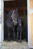 Tyneke & Xenia (HendrikSchulz) Tags: horses horse baby tag1 april pferde pferd filly weh foal 2015 fohlen stutfohlen pferdezucht friesenfohlen friesenzucht friesenstallweh tyneke