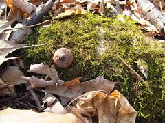 Stony Creek 14 April 12 2015 (lillith_complex) Tags: nature leaves moss deadleaves naturephotography acorncap