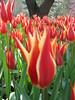 IMG_5977 (Gökmen Kımırtı) Tags: tulips tulip 2014 emirgan laleler