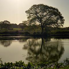 2015 120-365 (850) Spring Lone Oak tree (kayakingjanet) Tags: spring 365 lonetree imstillstanding