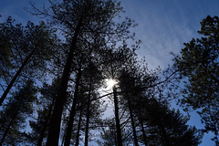 The Raven forest, Curracloe (baz brock (from ireland)) Tags: trees ireland sun nature forest wexford curracloe