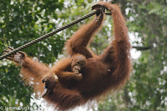 Mother and baby (J----D----) Tags: sarawak malaysia orangutan kuching semenggohnaturereserve