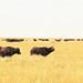 TZ Serengeti NP 0202 017a