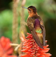 colibri paramuno (Aglaeactis cupripenis) (andresdelgado88) Tags: