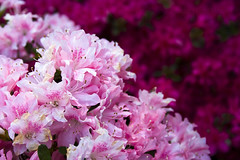 Pink & magenta azaleas (Light Orchard) Tags: pink flowers red white flower tree primavera blanco fleur yard fleurs garden spring bush flora purple blossom blossoms magenta blumen bloom azalea blooms shrub weiss bianco blanc bruceschneider 2015lightorchard