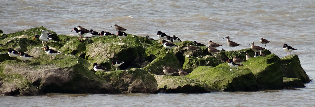 Whimbrel and Oystercatchers