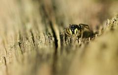 Toute de noir vtue (Eric Penet) Tags: france macro nature animal spider wildlife foret printemps fort nord araigne sauvage arachnide salticidae arachnidae avesnois salticide sauteuse mormal locquignol
