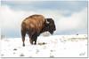 Lone Buffalo ((Nicole)) Tags: ranch snow buffalo nikon colorado wildlife snowstorm southpark western prairie ungulate cannedanimalhunts