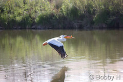 May 17, 2015 - A Pelican flies above a pond at the Boulder County Fairgrounds. (Bobby H)