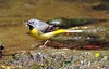 Grey Wagtail parent with food (Vee living life to the full) Tags: flowers public birds yellow gardens wales flora landscaping may blumen chick parent british wagtail 2015 isleofanglesey nikond300 plascadnant shootaboot shootaboot2