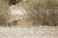 Degerby, Inkoo, May 1st 2016 (Sampsa Kettunen) Tags: field canon deer caribou pelto peura inkoo ingå degerby wildreindeer canoneos6d canonkevät canonkuvaa