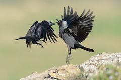 Grajilla occidental (Pablo Bou) Tags: espaa naturaleza animals fauna spain aves catalunya lleida raimat grajillaoccidental