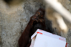Lowry Park Zoo: Josie & Gojo (Bornean Orangutans) (Jasmine'sCamera) Tags: park animal animals tampa zoo orangutan lowry lowryparkzoo bornean borneanorangutan