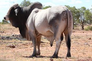 Bos taurus indicus (Brahman Bull)