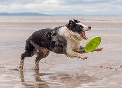 Not the Way to Catch a Frisbee (Chris Willis 10) Tags: beach collie play border will frisbee crosby frisby