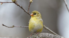 Female American Goldfinch (Diane G. Zooms--- On/Off) Tags: birds goldfinch americangoldfinch wildbirds naturephotos coth femaleamericangoldfinch fantasticnature femalegoldfinch coth5 dianegiurcophotography