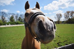 Horst. (MisterSifter.) Tags: portrait horses horse nature animals cheese photography tiere nikon fotografie portrt horst pferde pferd nahaufnahme walkingaround animalphotography tierfotografie naturfotografie bangboombang tierportrait nikonphotography frommypointofview eyeforphotography nikond5300