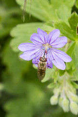 Marmalade Fly (roderick smith) Tags: insect fly hoverfly attenboroughnaturereserve episyrphusbalteatus marmaladefly nottinghamshirewildlifetrust canon70d eos70d canonef100400mmislmkii