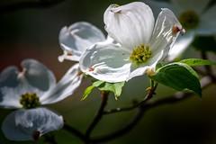 Spring Tease (Portraying Life) Tags: usa michigan dogwood