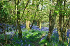 woods bluebells (*LINNY *) Tags: uk flowers england bluebells spring ancient woods dorset duncliffe duncliffwoodsbluebells