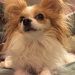 at eye level (mimbrava) Tags: dog molly mimbrava papillon arr allrightsreserved mimbravastudio mimeisenberg