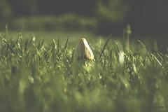 Shroom(s)/Gljiva(e) (Kuzz1984) Tags: green mushroom grass mushrooms trava zeleno gljiva gljive