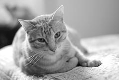 DSC_4538 (mgkm photography) Tags: blackandwhite bw blancoynegro monochrome cat 50mm bokeh gimp garfield pretoebranco blackandwhitephotography shotwell catportrait monochromephotography blackwhitephotos nikonphotography opensourcephotography 20 d7000