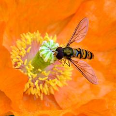 Hoverfly ... Episyrphus balteatus (AndyorDij) Tags: uk flowers england plants gardens insect unitedkingdom insects poppy poppies rutland pollen hoverfly 2016 empingham episyrphusbalteatus papaveratlanticum